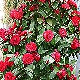 Camellia japonica'Black Lace' | Kamelie | Rote Blüte | Höhe 30-40cm | Topf-Ø 15cm