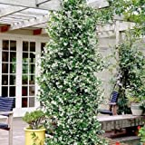 Sternjasmin (Immergrün, Weiβ, Duftend & Winterhart) - 1,5 Liter Topf - Wintergrün -Jasmin |...