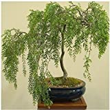 Bonsai Australian Willow Tree Cutting - Large Thick Trunk Root Stock - One Live Indoor/Outdoor Bonsai Tree - Shipped Bare Root, No Pot or Soil Included