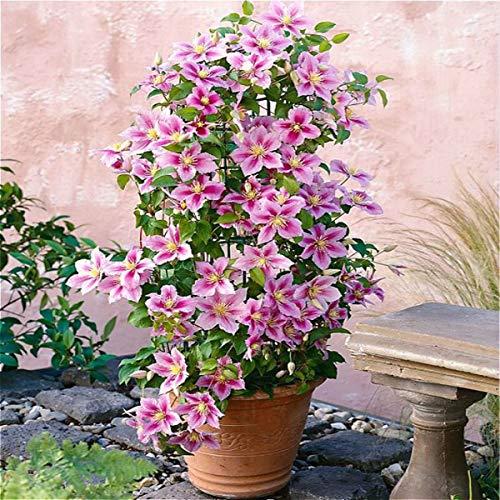 2 X Clematis Piilu (Waldrebe) - Lavendelrosa/Pink | 2-er set Mehrjährig blühende Kletterpflanze - Winterhart - 2 X 1,5 Liter Topf