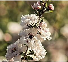 Leptospermum Scoparium Manuka Tea Tree Seeds MX02