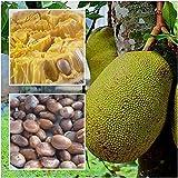 Semi ad alto tasso di germinazione Artocarpus 10 samen jackfrucht jakfruit tropical einzigartige fruchtsamen La confezione contiene 1 set di semi L'immagine è solo un'indicazione di tipo