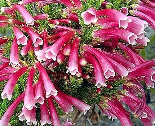 Stk - 15x Erica discolor Heidekraut Zimmer Garten Pflanzen - Samen B1429 - Seeds Plants Shop Samenbank Pfullingen Patrik Ipsa