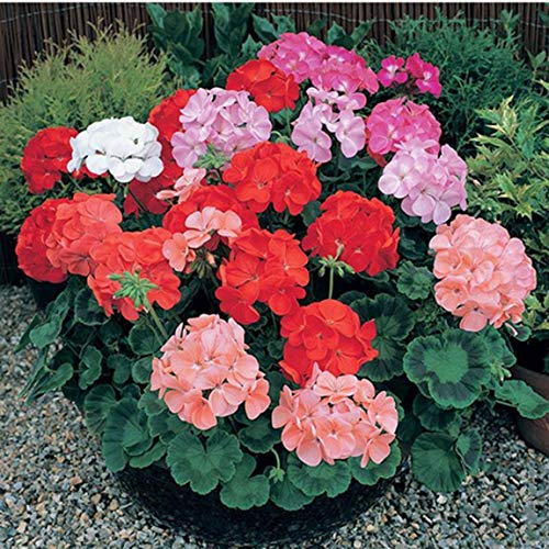 SeniorMar 100 Stück/Packung Blumen Geranie Mini Blumensamen Mini Blumensamen Blumenpflanzen Schönes Dekor Blumenpflanze