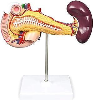 Pancrea、Duodenum、脾臓の構造を示す脾臓膵臓と十二指腸モデル (Size : 10x20x5.5cm)