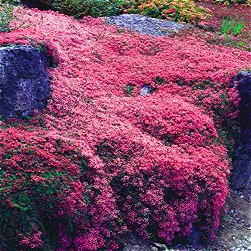 Green Seeds Co. Klettern Blume Aubrieta pflanzen 100 stücke Lila Blumen bonsai Mehrjährige Bodendecker Blühende Diy Pflanze Für Hausgarten Decoratio: blau