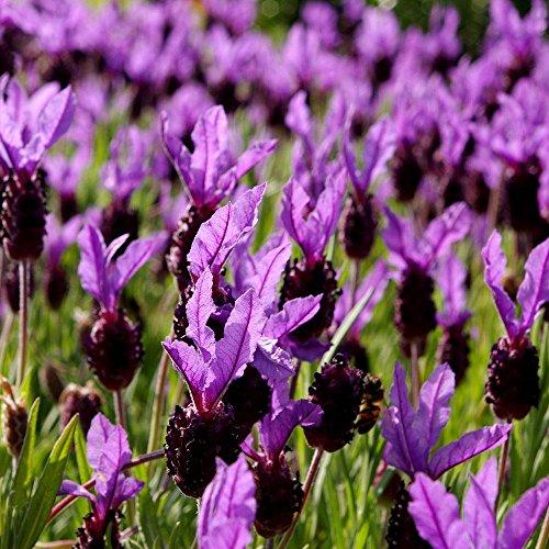 Lavanda francesa, semillas de lavanda espanola - Lavandula stoechas - 37 semillas