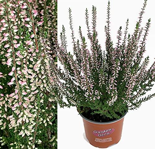 Isenzo Sommerheide Heidekraut PINK Bettina Calluna Vulgaris Sämling lebende Pflanze Gartenpflanze