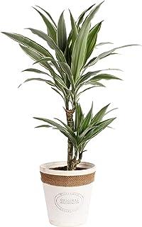 Planta de interior de Botanicly – Árbol dragón en maceta blanca de madera real como un conjunto – Altura: 70 cm – Dracaena...