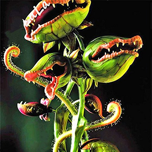 TENGGO Egrow 100 Teile/Paket Fliegenfalle Samen Garten Topf Dionaea Muscipula Riesen Fleischfressende Pflanzensamen - 4
