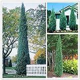 50 pcs/bag Pencil Point Juniper seeds rare tree seeds perennial plant ITALIAN cypress (Cupressus Sempervirens Stricta) seeds