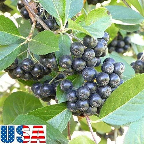 GEOPONICS 2 Pflanzen mit Wurzeln Callisia fragrans Bask Cây Luoc Vang ganzheitliche Medizin