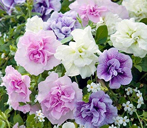 Xin Hun » Graines colorées pétunia, 200 graines, Paquet professionnel, rose blanc violet annuel mixte