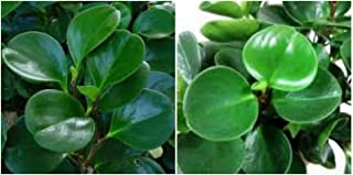 Jade Peperomia Obtusifolia in 4
