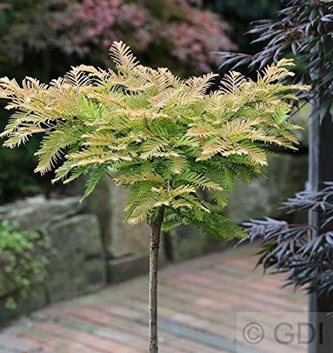 Hochstamm Kugel Urweltmammutbaum Matthaie 40-60cm - Metasequoia glyptostroboides
