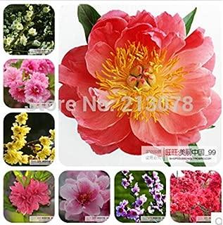 Prunus Mume, Prunus Mume Bonsai, Plum Flower, 100% True Seed, 99% Germination -10 Seeds/bag
