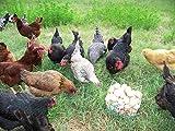 24 Fertile Chicken Hatching Eggs