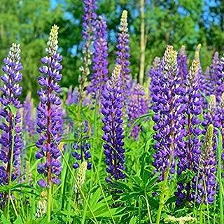 Isla's Garden Seeds Perennial Lupine Flower Seeds - 300+ Premium Seeds Lupinus Perennis - 99.85% Purity