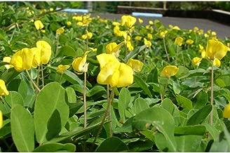 5 Perennial Peanut Pinto Ground Cover Yellow Flower Arachis Pintoi Legume Seeds #DS01
