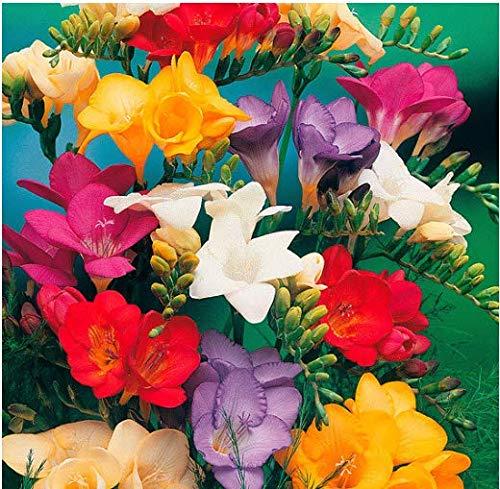 Acecoree Samen- 100 Stück Freiland Freesien Mischung Duft-Freesien Blumensamen saatgut winterhart mehrjährig Blumen für Terrasse/Balkon/Garten