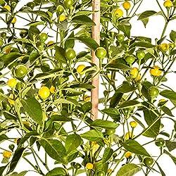 Pepperworld Gelbe Kirsche Chili-Saatgut, 10 Korn, Chili-Schote zum Anpflanzen, mittel-scharf