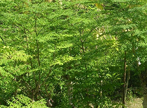 Afrikanische Moringa 15 Samen Moringa stenopetala Wunderbaum