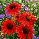 lichtnelke - Sonnenhut (Echinacea purpurea ' HOT LAVA ') -
