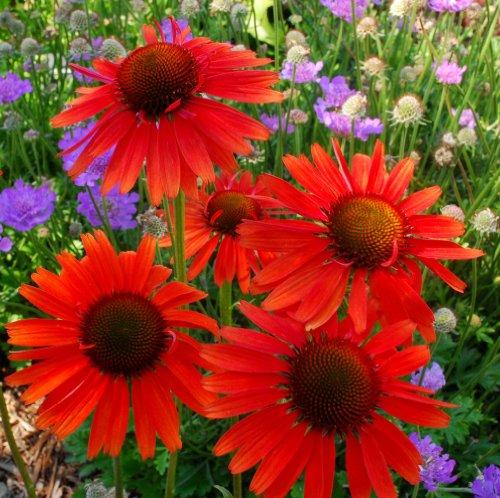 lichtnelke - Sonnenhut (Echinacea purpurea ' HOT LAVA ')