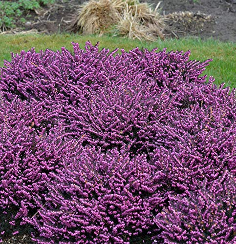 10x Englische Heide Rubina - Erica darleyensis