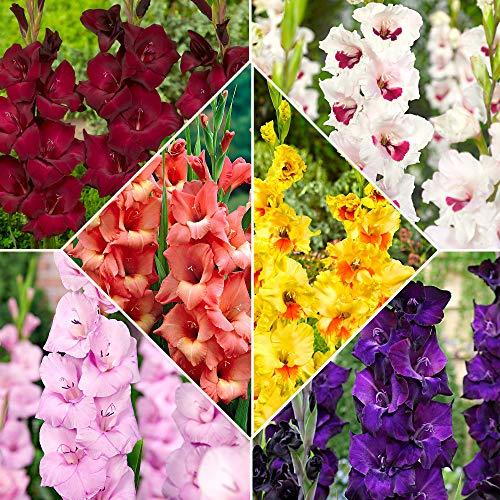 60x Gladiolus | Blumenzwiebeln Mix | Gemischte Farben | Sommerblumen Samen | Blumen Garten | Balkon Pflanzen | 60 Knollen