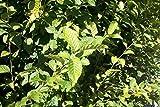 20 Stück Carpinus betulus - (Hainbuchen - Weißbuchen) Heckenpflanzen im Topf 30 - 50 cm