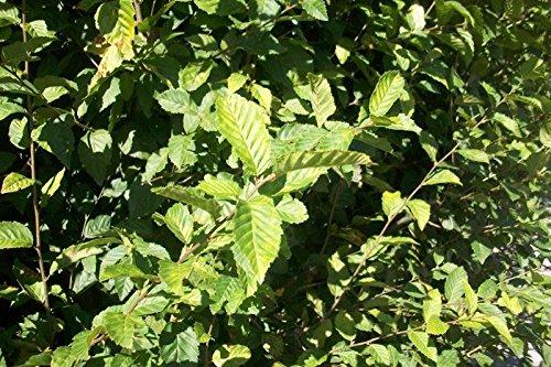 50 Stück Carpinus betulus - (Hainbuchen - Weißbuchen) Heckenpflanzen im Topf 30 - 50 cm