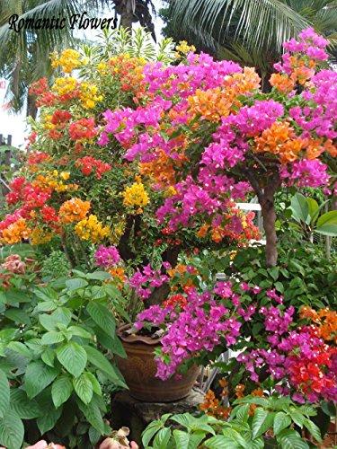Livraison gratuite 50 particules / Bag Mix Couleur Bougainvillea Balcon Pot, Jardin Fleur Plante Immensément Showy, florifère Hardy Plante