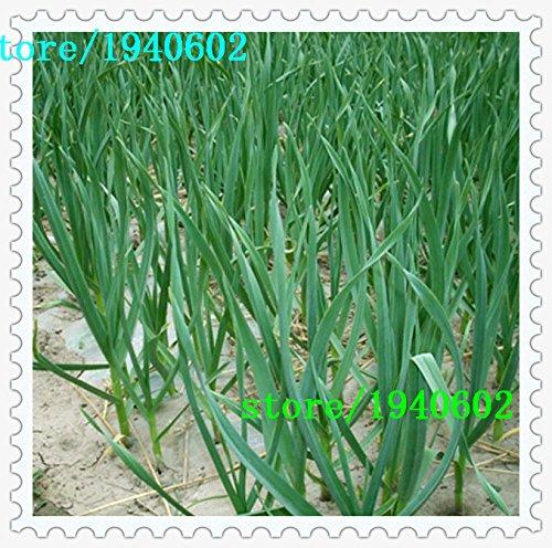 La esterilización de semillas vegetales, ajo, semillas de puerro, alrededor de 50 partículas
