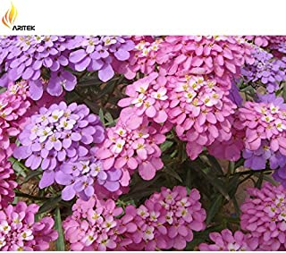 TopOne Sales Heirloom Iberis Pink Dwarf Candytuft Biennial Flower Seeds, Original Pack, 50 Seeds