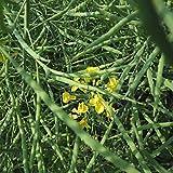 Semi di fiori di colza, gambo nano ad alto rendimento, semi di baccello di colza resistenti al freddo e all'allettamento 300 grani