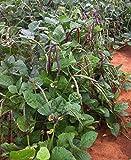 Big Boy Purple Hull Cowpea Seed - Southern Peas Field Pea Seeds