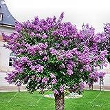 100pcs / bag rara lila Semilla de plantas al aire libre árbol fragante clavo flor en maceta de Bonsai japonés para jardín
