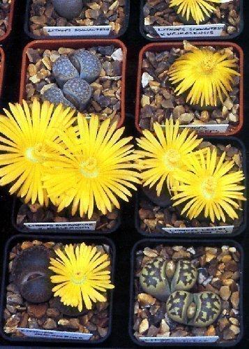 Tropica - Sukkulenten - Lebende Steine (Lithops dorotheae) - 30 Samen