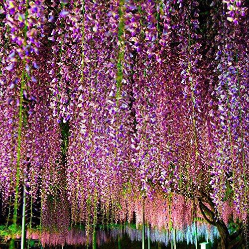 ShenyKan 10Pcs / Pack Glyzinien Samen Weiß Dah Lia Samen Schöne mehrjährige Blumen Samen Dah Lia für DIY Home Garden
