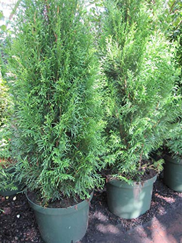 Thuja occidentalis Smaragd - Lebensbaum Smaragd - Preis nach Größe und Stückzahl 100-120cm/10 Stück