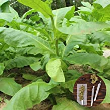 clifcragrocl semillas 30pcs Organic Virginia tabaco