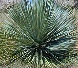 Yucca rostrata - 50 Samen - extrem frosthart -