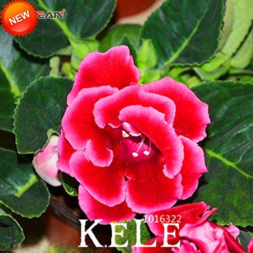 Big Sale! Red Gloxinia Graines Plantes vivaces à fleurs Sinningia Speciosa Bonsai Balcon pour jardin, 100 Pièces