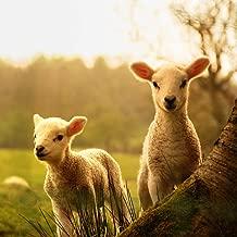 Young Lambs Sheep Tree Sheep Baby (N002300) Poster Art Print on Canvas 16