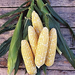 Bi-Color Delicious Sweet Corn, Multi Color, 75+ Premium Heirloom Seeds, Sweet & Yummy! Fantastic Addition to Your Home Garden! (Isla's Garden Seeds), 90% Germination Rates, Highest Quality Seeds