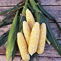 Bi-color corn