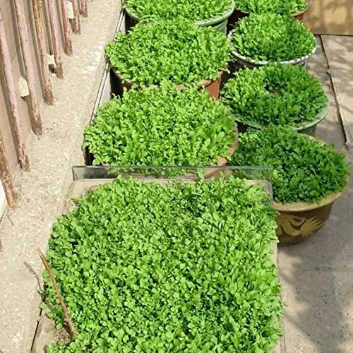 100 Stück Brunnenkresse Kresse Samen Hausgarten Hinterhof Frisches Gemüse Pflanzen Kressesamen