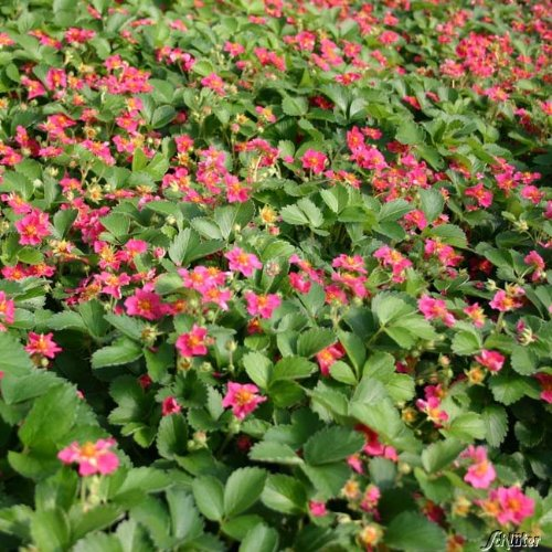 Bodendecker-Erdbeere 'Red Ruby' - 1 Stück