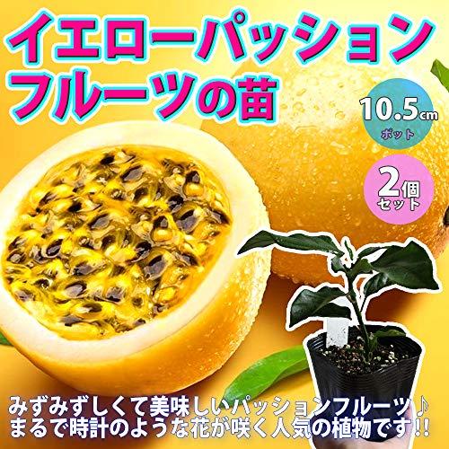 イエローパッションフルーツの苗【果樹苗 10.5cmポット 実生苗/2個セット】熟すときれいな黄色になるみずみずしく美味しいパッショフルーツ品種!ポット苗なので年中植付け可能!ある程度木が大きくならないと開花しないので、植付け後2年目ぐらいから収穫できます。栽培条件が良ければ、春の植え付けでその年に少量収穫できる場合もあります。★特徴 果皮は鮮やかな黄色で果重120~140g、果径6~8cmです。野球ボールほどの大きさで揃いが良いです。パッションフルーツ特有の甘酸っぱい香りが強く生食はもちろん、お菓子や飲み物の香りづけにも用いられます。新鮮果樹苗自社農場より直送!!